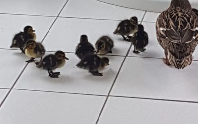 Guests Are Going Quackers For Our Tiles